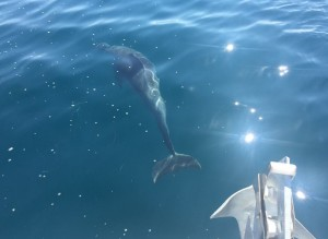 dauphin depuis bateau