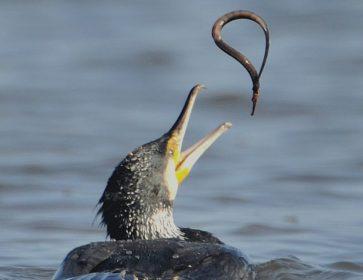 Cop cormoran et sygnathe aiguille mâle