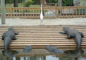 poliitique oiseau crocodiles