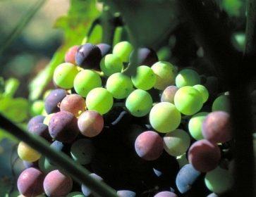 aurelie raisins