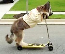 SOS PV chien trottinette