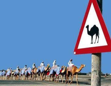chameaux caravane