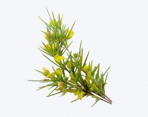 rooibos fleur ludivine