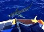savin requin