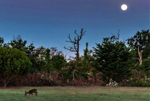 chevreuil lune bassin carly