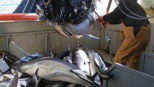 peche chalut pelagique dauphin