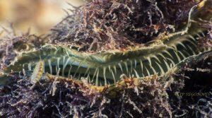 segonnes huitre carnassiere