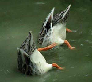 canards plongeants
