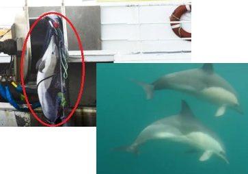 dauphins sous l eau et ds filet