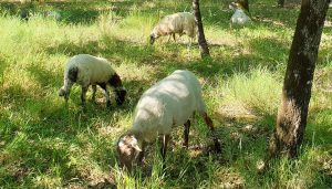 moutons mairie andernos